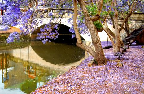 Picture of Lennox Street Bridge over Parramatta River with Jacaranda flowers on the ground
