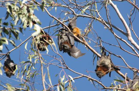 Flying foxes with leaves with blue sky