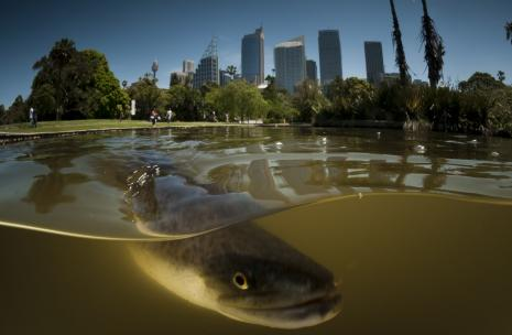 Picture of Parramatta City with an Eel in the water.