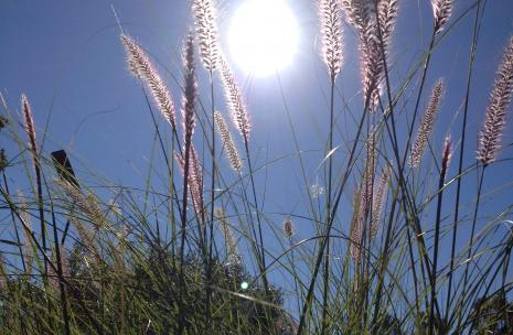 Weeds with sun in background looking through grass